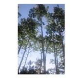 Morning Aspens Postcards (Package of 8)
