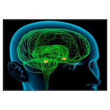 Amygdala in the brain, artwork