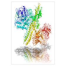 Botulinum toxin A, molecular model