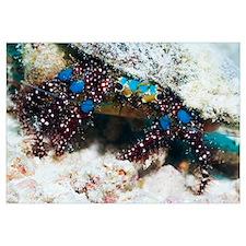 Blue-knee hermit crab
