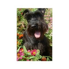 Black Miniature Schnauzer Rectangle Magnet (100 pa