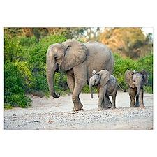 Desert-adapted elephants
