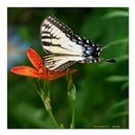 .swallowtail on candy lily. Square Car Magnet 3