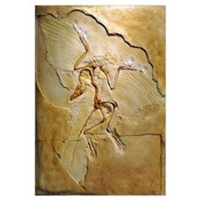 Archaeopteryx fossil, Berlin specimen