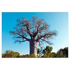 Adansonia madagascariensis baobab tree