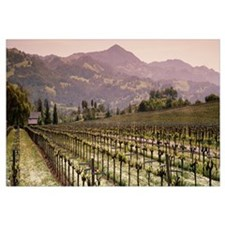 Vineyard on a landscape, Asti, California