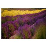 Lavender and Yellow Flower fields, Sequim, Washing