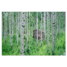 American aspen trees in the forest, White River Na