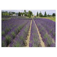 Field of lavender, Jardin Du Soleil, Sequim, Clall