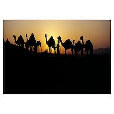 Silhouette of camels in a desert, Pushkar Camel Fa