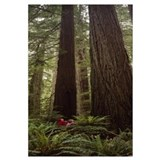 Redwood (Sequoia sempervirens) trees in a forest,