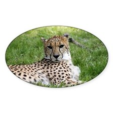 Cheetah 2.jpg Decal
