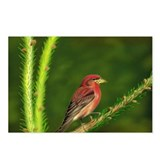 Purple Finch Postcards (Package of 8)