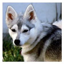 Alaskan Klee Kai Puppy looking over her shoulder 5