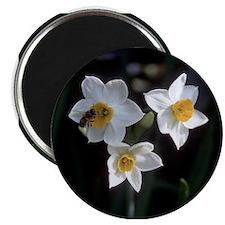 Narcissus Magnet