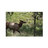 Roosevelt Elk 3.jpg Rectangle Magnet