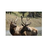 Roosevelt Elk 2.jpg Rectangle Magnet (100 pack)