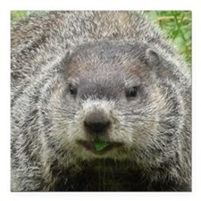 "Groundhog Eating Square Car Magnet 3"" x 3"""