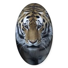 Siberian Tiger Oval Decal