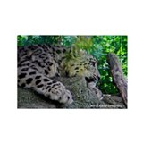 Baby Snow Leopard Rectangle Magnet