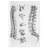 Spine anatomy