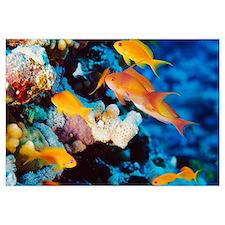 Sea goldie fish