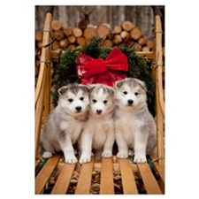 Siberian Husky puppies in traditional wooden dog s