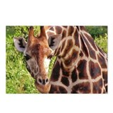 rothschild giraffe looking kenya collection Postca