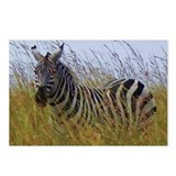 plains zebra in grass kenya collection Postcards (