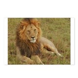 male lion kenya collection Postcards (Package of 8