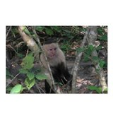 White-faced Capuchin Monkey Postcards (Package of