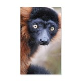 Red Ruffed Lemur Wall Decal