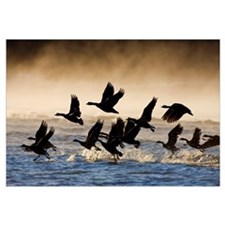 Canada Geese take flight on a misty winter morning