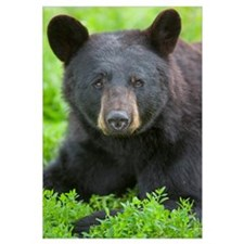 Portrait of a Black Bear at the Alaska Wildlife Co