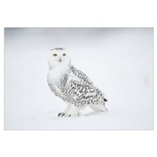 Snowy Owl on snow, Saint-Barthelemy, Quebec, Canad