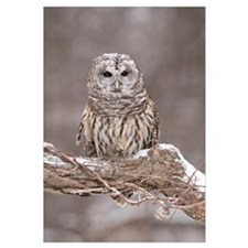 Barred Owl (Strix varia) in winter, Howell Nature