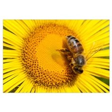 Bee (Apidae) on Alpine Sunflower (Rydbergia grandi