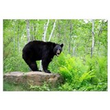 Black Bear (Ursus americanus) adult, standing on r