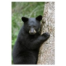 Black Bear (Ursus americanus) cub in tree safe fro