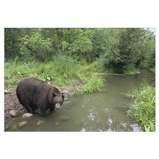 Black Bear (Ursus americanus) large adult male dri