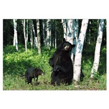 Black Bear (Ursus americanus) sow scratching on Bi