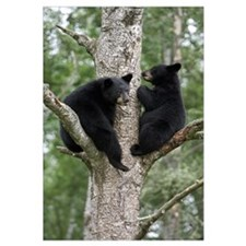 Black Bear (Ursus americanus) two cubs in tree, Or