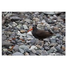 Black Oystercatcher, Icy Bay, Wrangell-St. Elias N