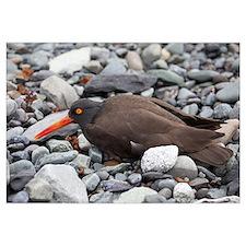 Black Oystercatcher, Icy Bay, Wrangell-St. Elias N