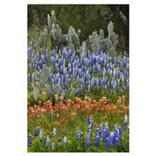 Bluebonnet, Paintbrush, and Pricky Pear cactus, Te
