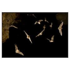 Brazilian Free-tailed Bats (Tadarida brasiliensis)