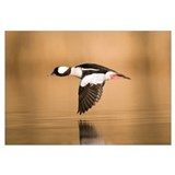 Bufflehead (Bucephala albeola) male flying, Island
