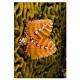 Christmas Tree Worm attached to Brain Coral, Bonai