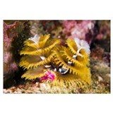 Christmas Tree Worm on Great Star Coral Bonaire, N