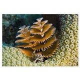 Christmas Tree Worm on Great Star Coral, Bonaire,